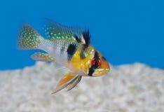 Μπλε τροπικά ψάρια κριού σε ένα ενυδρείο στοκ εικόνα
