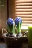 μπλε υάκινθοι Στοκ φωτογραφίες με δικαίωμα ελεύθερης χρήσης