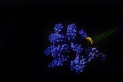 Μπλε υάκινθος σταφυλιών, λουλούδια armeniacum Muscari με το ισχυρό CONT Στοκ Εικόνες