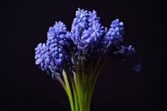 Μπλε υάκινθος σταφυλιών, λουλούδια armeniacum Muscari με το ισχυρό CONT Στοκ φωτογραφία με δικαίωμα ελεύθερης χρήσης