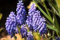 Μπλε υάκινθος σταφυλιών - λουλούδια Muscari Armeniacum Στοκ Φωτογραφίες