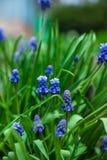 Μπλε υάκινθος σταφυλιών armeniacum Muscari που ανθίζει στον κήπο Στοκ Εικόνες