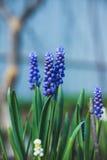 Μπλε υάκινθος σταφυλιών armeniacum Muscari που ανθίζει στον κήπο Στοκ φωτογραφίες με δικαίωμα ελεύθερης χρήσης
