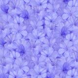 Μπλε υπόβαθρο λουλουδιών plumbago Στοκ Εικόνα