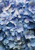 Μπλε υπόβαθρο χλωρίδας Hydrangea Στοκ Εικόνες