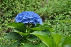 Μπλε υπόβαθρο Hydrangea στοκ εικόνες