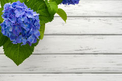 Μπλε υπόβαθρο Hydrangea Στοκ φωτογραφία με δικαίωμα ελεύθερης χρήσης