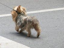 Μπλε φεστιβάλ δαμάσκηνων - φανταχτερό σκυλί Στοκ φωτογραφία με δικαίωμα ελεύθερης χρήσης