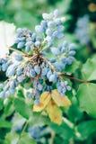 Μπλε φρούτα μούρων aquifolium Mahonia και πράσινα φύλλα Στοκ φωτογραφίες με δικαίωμα ελεύθερης χρήσης