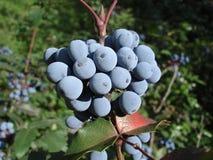 Μπλε φρούτα aquifolium Mahonia και πράσινα φύλλα Στοκ φωτογραφίες με δικαίωμα ελεύθερης χρήσης