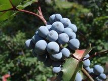 Μπλε φρούτα aquifolium Mahonia και πράσινα φύλλα Στοκ φωτογραφία με δικαίωμα ελεύθερης χρήσης