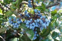 Μπλε φρούτα aquifolium Mahonia και πράσινα φύλλα Στοκ εικόνα με δικαίωμα ελεύθερης χρήσης