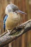 Μπλε-φτερωτό Kookaburra, leachii Dacelo, σπάνιο πουλί αλκυόνων από την Αυστραλία, που κάθεται στον κλάδο Στοκ εικόνα με δικαίωμα ελεύθερης χρήσης