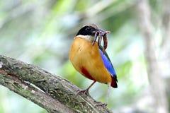 Μπλε φτερωτό moluccensis Pitta Pitta Στοκ Φωτογραφίες