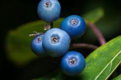 μπλε φυτό Στοκ Εικόνες