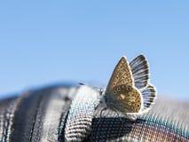 μπλε φως πεταλούδων στοκ φωτογραφία με δικαίωμα ελεύθερης χρήσης