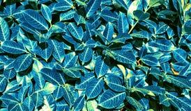 Μπλε φύλλα Στοκ Φωτογραφίες