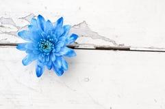 Μπλε χρυσάνθεμο πέρα από το άσπρο ξύλινο υπόβαθρο Στοκ Φωτογραφίες