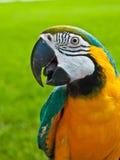 Μπλε, χρυσός διασωθείς macaw παπαγάλος Στοκ εικόνα με δικαίωμα ελεύθερης χρήσης