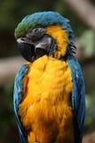μπλε χρυσός ararauna ara macaw Στοκ Φωτογραφίες