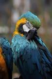 μπλε χρυσός ararauna ara macaw Στοκ Φωτογραφία