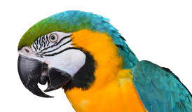 μπλε χρυσός macaw Στοκ Φωτογραφία