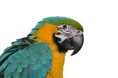 Μπλε & χρυσό Macaw στοκ εικόνα με δικαίωμα ελεύθερης χρήσης