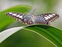 Μπλε χρωματισμένη πεταλούδα Στοκ φωτογραφίες με δικαίωμα ελεύθερης χρήσης