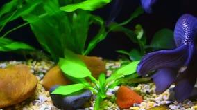 Μπλε ψάρια αυγών του Φοίνικας απόθεμα βίντεο
