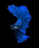 Μπλε ψάρια πάλης δράκων σιαμέζα, ψάρια betta που απομονώνονται στο Μαύρο Στοκ Φωτογραφίες