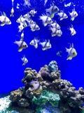 μπλε ψάρια στο θαλάσσιο μουσείο στοκ εικόνα