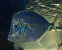 μπλε ψάρια Στοκ Φωτογραφίες