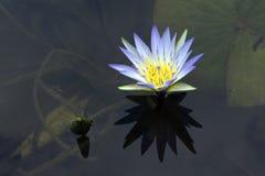 Μπλε λωτός ή μπλε κρίνος νερού Στοκ εικόνα με δικαίωμα ελεύθερης χρήσης