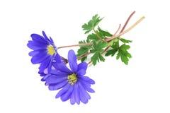 Μπλε όμορφα λουλούδια anemones Στοκ Εικόνες