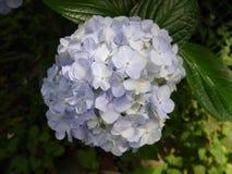 μπλε ajisai Στοκ Φωτογραφία