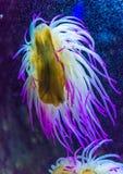 Μπλε anemone θάλασσας στο ενυδρείο Στοκ φωτογραφία με δικαίωμα ελεύθερης χρήσης