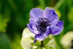 Μπλε anemone στο πράσινο κλίμα Στοκ φωτογραφίες με δικαίωμα ελεύθερης χρήσης