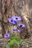 Μπλε anemone (coronaria ή ο κ. Fokker) Στοκ Εικόνα