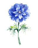 Μπλε anemone watercolor όμορφο λουλούδι Στοκ Φωτογραφίες