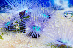Μπλε anemones στο oceanarium Στοκ Φωτογραφία