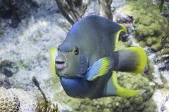 Μπλε Angelfish Στοκ φωτογραφία με δικαίωμα ελεύθερης χρήσης