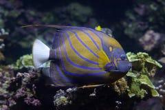 Μπλε annularis Pomacanthus δαχτυλιδιών angelfish Στοκ φωτογραφίες με δικαίωμα ελεύθερης χρήσης