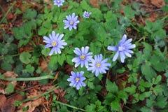 Μπλε apennina Anemone Anemone Στοκ φωτογραφία με δικαίωμα ελεύθερης χρήσης