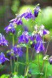 Μπλε Aquilegia Στοκ Φωτογραφία