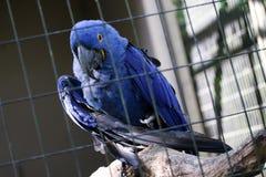 Μπλε arara μόνο στο κλουβί Στοκ Εικόνες