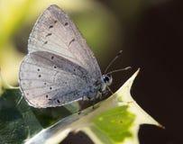 Μπλε argiolus Celastrina πεταλούδων της Holly Στοκ Φωτογραφίες