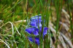 Μπλε bellflower στα υψηλά βουνά Tatra, alpina campanula στοκ εικόνα