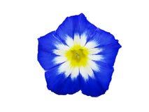 Μπλε bindweed με την άσπρη και κίτρινη μέση Στοκ φωτογραφίες με δικαίωμα ελεύθερης χρήσης