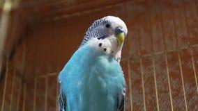Μπλε budgerigar συνεδρίαση σε ένα κλουβί για τα πουλιά απόθεμα βίντεο