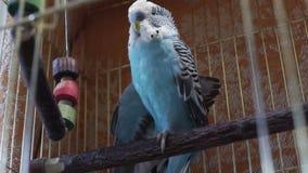 Μπλε budgerigar συνεδρίαση στο κλουβί φιλμ μικρού μήκους